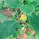 Jewelweed or Pale Touch-Me-Not