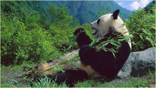 高清壁纸熊猫