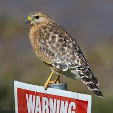 Photo: Red-shouldered Hawk