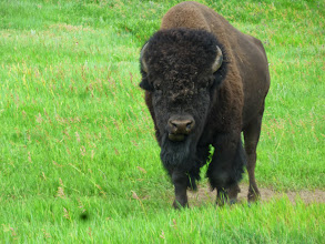 Photo: Day 24 Hot Springs SD to Mt Rushmore (Keystone SD) 53 miles 5600' climbing We cycled through part of National Bison Grasslands where buffalo roam freely. Passing this buffalo on a bicycle is very different than from the safety of an automobile.