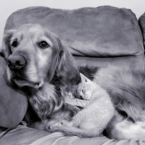 by Brook Kornegay - Animals - Dogs Portraits ( black and white, pet, sleeping, tabby, golden retriever )