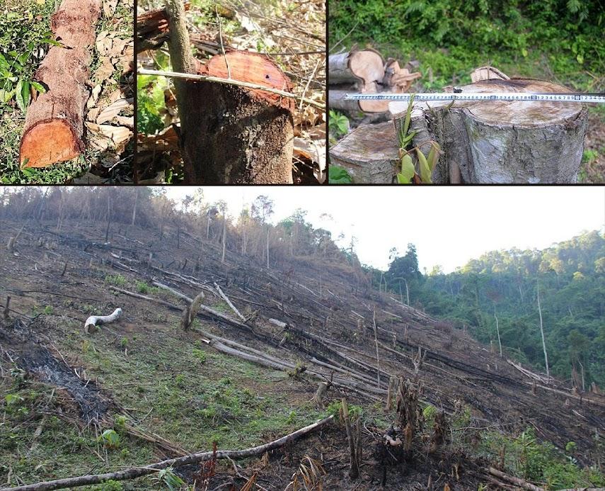 Hiện trường vụ phá rừng ở xã Châu Thuận