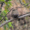 jungle owlet, or barred jungle owlet,