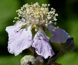 Photo: Rubus ulmifolius, rovo, elm-leaved bramble