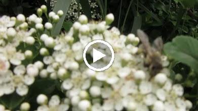 Video: Pyracantha, Cătină ornamentală (Pyracantha coccinea)  - Din Turda, parcul teilor - 2019.05.15