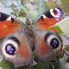 The European Peacock(Peacock butterfly )/ Павлиний глаз(дневной)