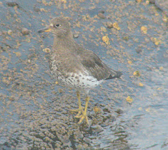 Photo: Surfbird -  Quivera Basin in San Diego