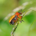 Escarabajo (Beetle)
