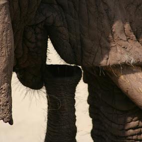 Blowing your own trumpet by Rachel Startin - Animals Other Mammals