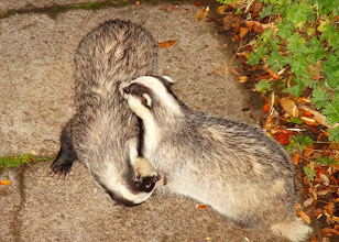 Photo: STOP THE BADGER CULL NOW