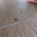 Spiny bark mantis