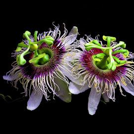 Pair by Asif Bora - Flowers Flower Gardens (  )