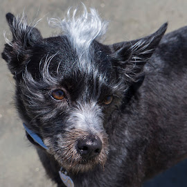 Topknot by Chris Seaton - Animals - Dogs Portraits ( topknot, portrait, dog, hairdo, dog portrait )