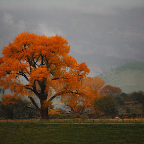Cottonwood in the Rain by David Short - Landscapes Prairies, Meadows & Fields ( cottonwood, grand mesa, fall, colorado )