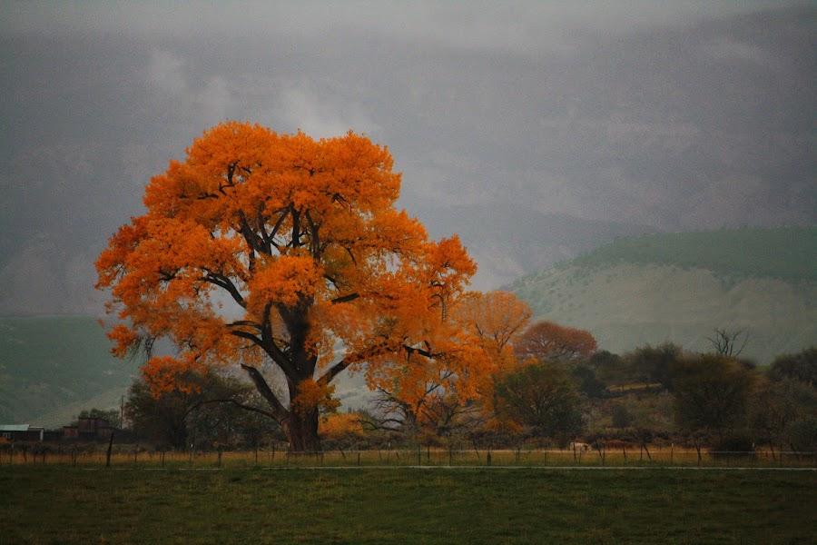 Cottonwood in the Rain by David Short - Landscapes Prairies, Meadows & Fields ( cottonwood, grand mesa, fall, colorado )