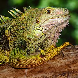 Green iguana female by Gérard CHATENET - Animals Reptiles