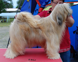 "Photo: Bantam Shepherd´s Lionette ""Lotta"""