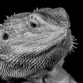 Dragon by Garry Chisholm - Black & White Animals ( sigma, bearded dragon, macro, nature, reptile, lizard, canon, garry chisholm )
