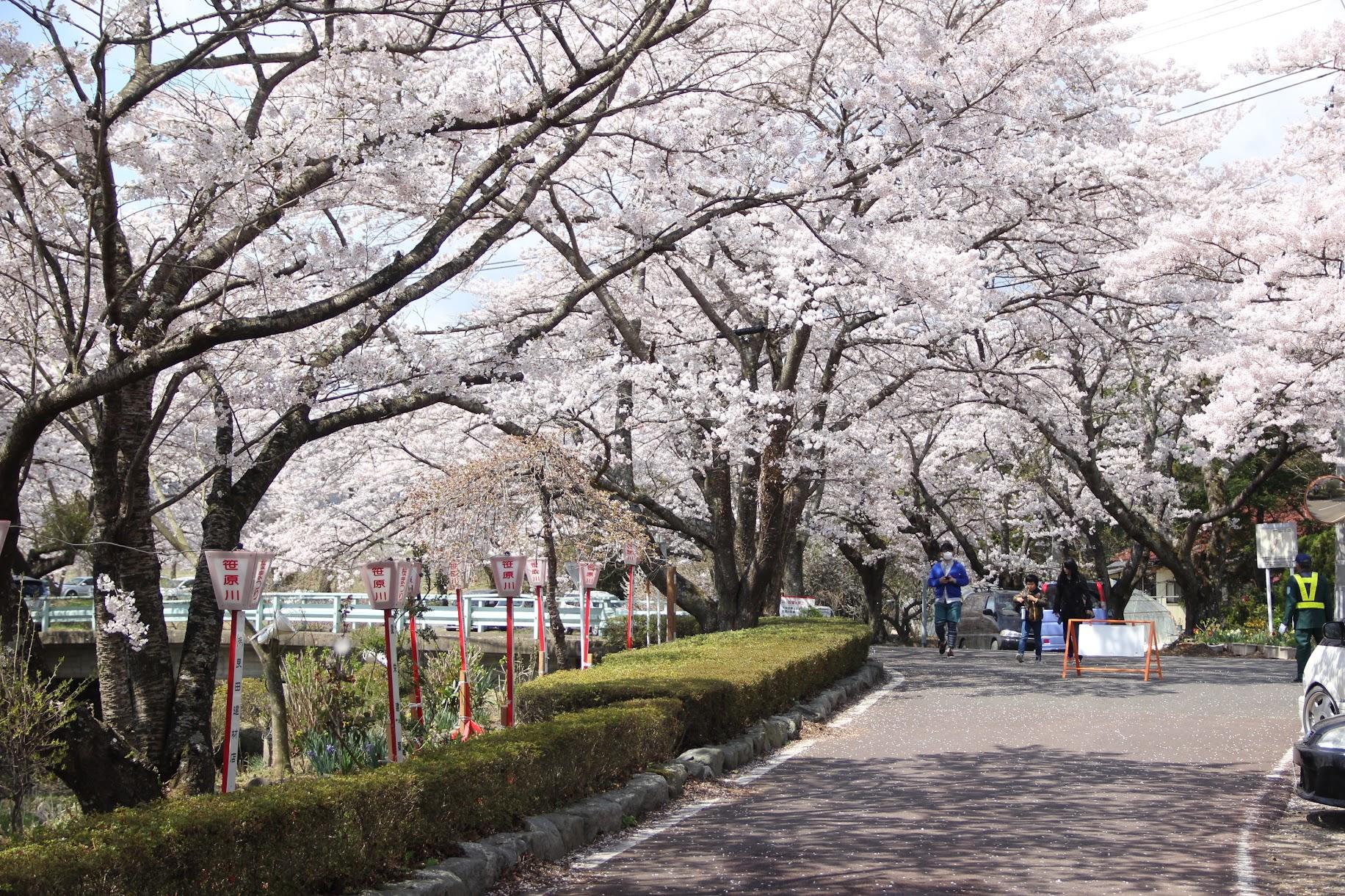 笹原川千本桜まつり | 郡山市の桜の名所 お花見スポット