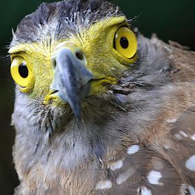 Raptor by Richard Idea - Animals Birds ( bird, portrait, animal, , wildlife, animals, birds, dogs, cats, snakes, reptiles, mammals, amphibians, eyes, beauty )