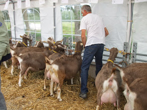 Photo: De toggenburger geiten en bokken die deze dag zijn bijeen gebracht en besproken zijn eigendom van fam. den Braber, fam. van Leeuwen en dhr. J. Hazendonk.