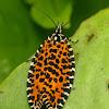 Leopard tortrix