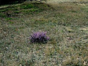 Photo: een enkel plukje bloeiende heide