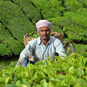 harvesting tea by Jordan Toh - Professional People Factory Workers ( work, cameron highland, concentrate, pahang, green, tea leafs, boh tea, tea, plantation, leafs, sunny, worker, head band, men, harvest )
