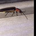 Firefly Lightning bug Glow fly Glow bug