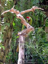 Photo: Большой солдатский ара (Ara ambigua)