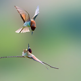 Bee-eaters by Albergamo Paolo - Animals Birds ( bird, animals, paolo albergamo, nature, bee-eaters )