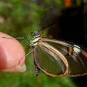 Clearwing