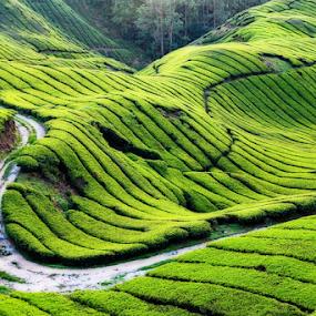 Country Road by Steven De Siow - Landscapes Mountains & Hills ( hills, landscape photography, landscape, tea farm, country road )