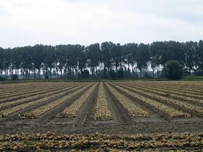 Photo: Sont-ce des oignons de tulipes ?