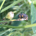 Seven-spotted Lady Beetle larva