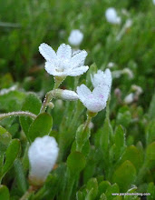 Photo: Unidentified tiny white flower, covered with dew