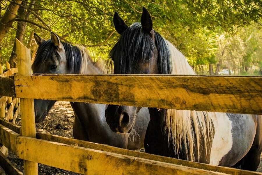 Caballitos encerrados by Gato Perro Tronchatoro Krois - Animals Horses ( caballo, animals, mountain, campo, horses, encierro, pet, horse, montaña, animal )