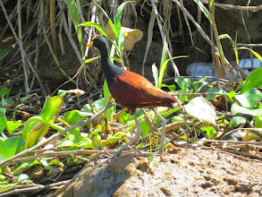 Photo: Northern Jacana likes to walk on water lillies
