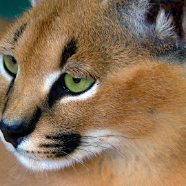 Caracal Kitten by Claudia Lothering - Animals Lions, Tigers & Big Cats (  )
