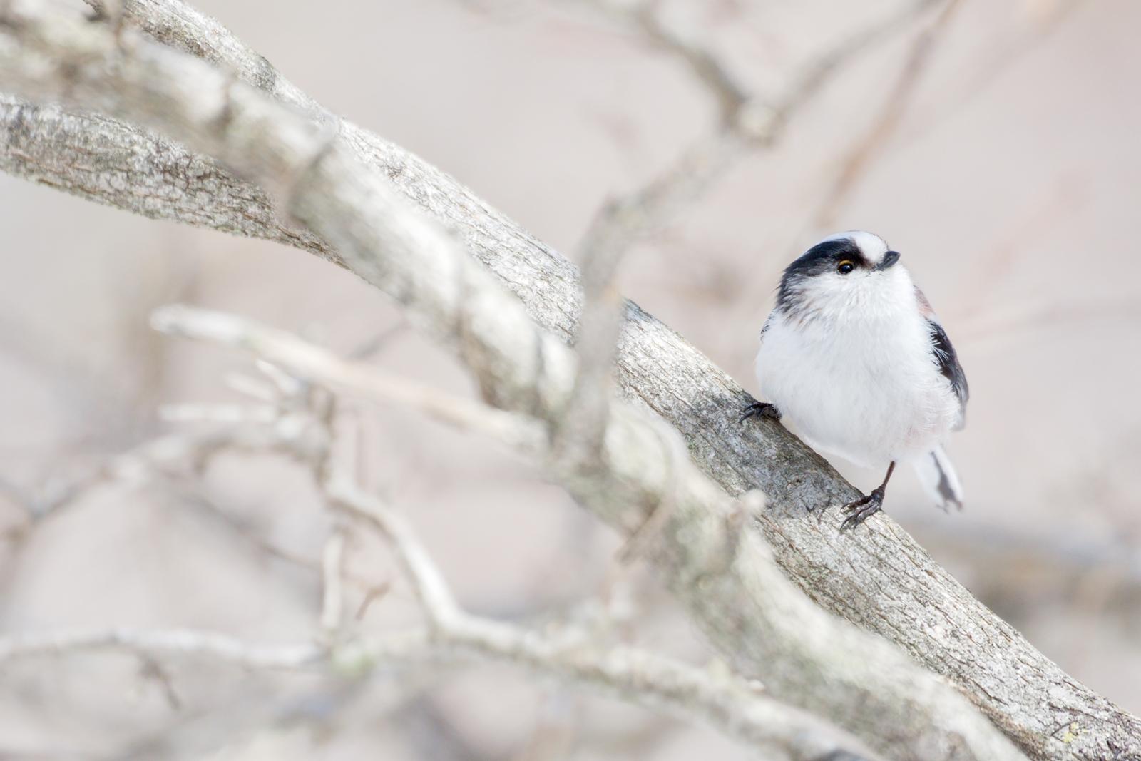Photo: 春移ろう Feel a change in the spring.  もう少し 君のところへも もう少し 暖かく穏やかな季節 少しずつ移ろいでいく  Long-tailed Tit. (高原で出会ったエナガ)  #cooljapan #365cooljapanmay  #birdphotography #birds  #sigma #kawaii   Nikon D7200 SIGMA APO 50-500mm F5-6.3 DG OS HSM [ Day323, March 31th ]  小鳥の詩朗読 https://youtu.be/KdsZLfiENuw?list=PL2YtHGm0-R3qVsaqvQe9OYdJFCkI98wzF