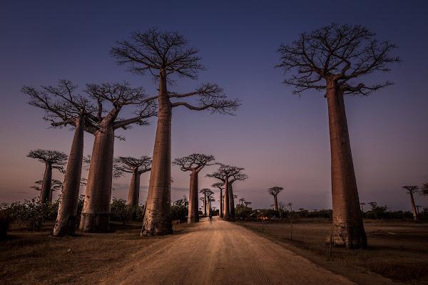 Allees de Baobabs di Marco Tagliarino