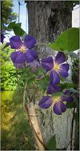 Photo: Curpen de grădină  (Clematis jackmanii), din Turda, de pe Calea Victoriei, B15, spatiu verde - 2018.07.01
