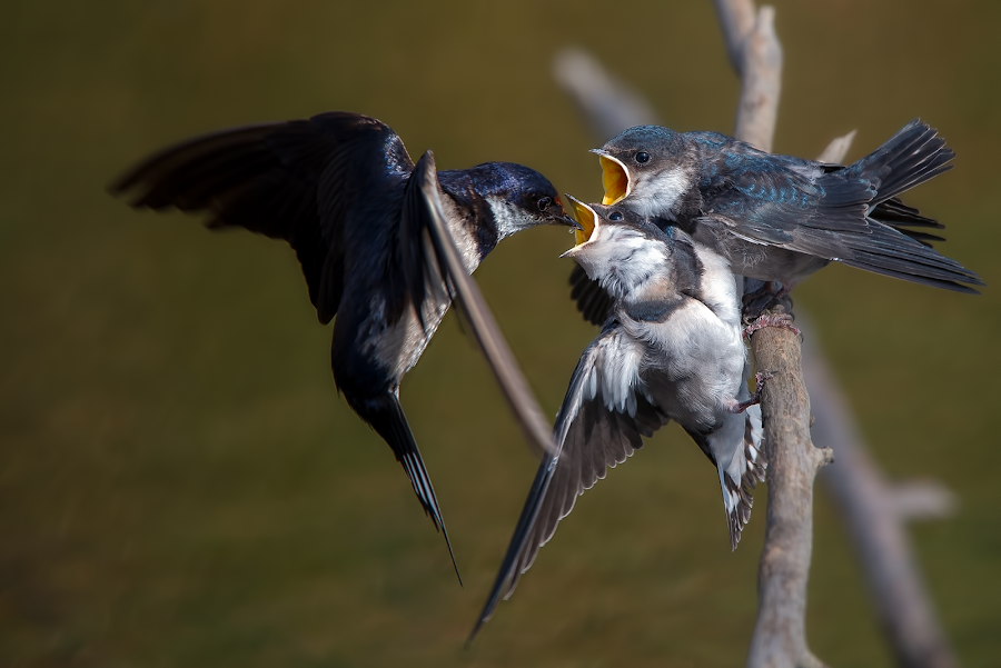 A wee little snack by Richard Wicht - Animals Birds ( babies, wild, african, fauna, avian, south africa, feeding, wildlife, swallowtail, birds, bird, chick, food, swallow, feed, baby, africa, chicks,  )