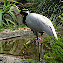 Deimoiselle crane