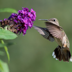hummer at purple butterfly.jpg