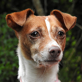 Judy by Chrissie Barrow - Animals - Dogs Portraits ( nose, tan, jack russell terrier, ears, fur, white, portrait, dog, pet )