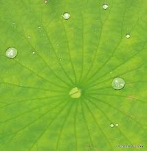 Photo: Droplets on lotus leaf