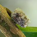 """""""Trash Bug"""" or Lacewing larvae"""