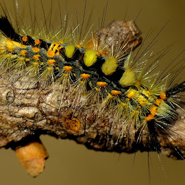 Vapourer Moth Caterpillar by Pat Somers - Animals Insects & Spiders