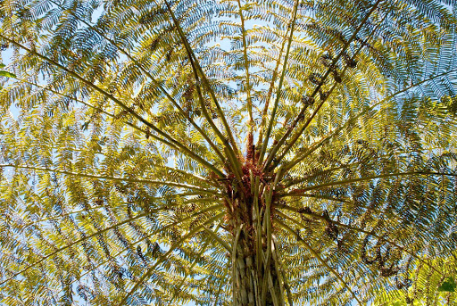 Giant-fern-Waitekere-Ranges-Regional-Park - A giant fern at Waitakere Ranges Regional Parkland in Auckland, New Zealand.
